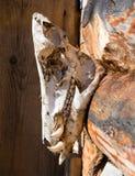 De trofee van de jacht, de schedel van een everzwijn Stock Foto's