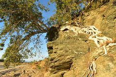 De tropische boomwortels groeien op rotsklip Baja Californië Sur, Mexico royalty-vrije stock foto's
