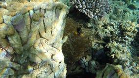 De tropische Clownvissen zwemmen rond anemoon op het koraalrif stock footage