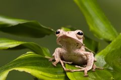 De tropische Eared kikker van Borneo Royalty-vrije Stock Foto