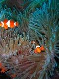 De tropische familie van clownvissen royalty-vrije stock afbeelding