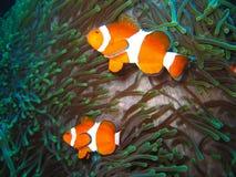 De tropische familie van clownvissen stock afbeelding