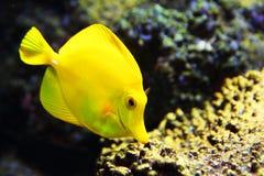 De tropische gele vissen van het zweempjeaquarium Stock Foto's