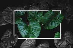 De tropische groene bladeren met creatieve vierkante kaderlay-out, stellen groene en zwart-wit kleuren tegenover elkaar Royalty-vrije Stock Afbeelding