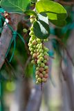 De tropische installatie van Coccolobauvifera met vruchten, van de overzeese dichte omhooggaand druiveninstallatie stock afbeelding