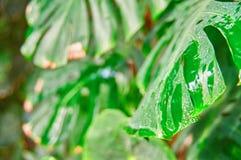 De tropische installatie van gebladertemonstera in natuurlijke voorwaarden, met vochtigheid van de regen Vuile bladeren, witte vl stock foto's