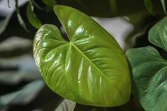 De tropische natuurlijke jonge bladeren van Monstera met textuur Spleet-blad philodendron, tropisch gebladerte Abstract natuurlij Royalty-vrije Stock Foto's