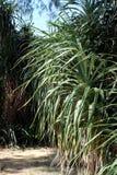 De tropische Palmtype Installatie Pointy verdunt Blad stock foto's