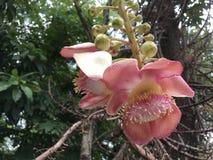 De tropische roze bloem van de Kanonskogelboom royalty-vrije stock foto's