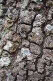 De tropische textuur van de boomschors Rustieke houten achtergrond Taxturehout Royalty-vrije Stock Foto's