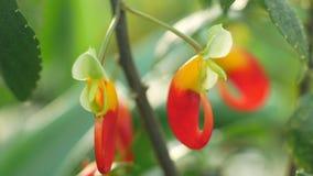 De tropische van de de algemene naamkongo van Afrika de kaketoebloei, eenvoudig papegaaiinstallatie of papegaai impatiens eenvoud stock footage