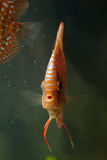 De tropische vissen van de discus Stock Foto's