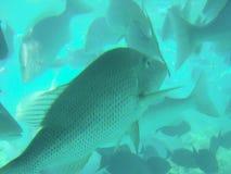 De tropische Vissen van de Ertsader Royalty-vrije Stock Afbeeldingen