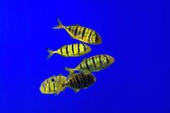 De tropische vissen zwemmen dichtbij koraalrif selectief Stock Afbeeldingen