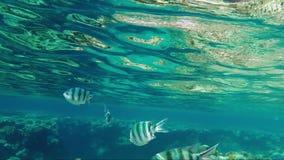 De tropische vissen zwemmen niet verre van de oppervlakte van het overzees Kleuring van de onderwaterwereld stock video