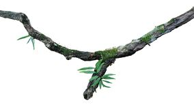 De tropische vochtige bos het het epiphytesvaren, mos en korstmos groeien op de oude doorstane die tak van de wildernisboom op wi royalty-vrije stock foto