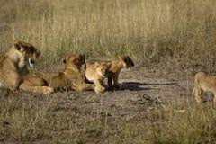 De trots van de leeuw Stock Afbeelding