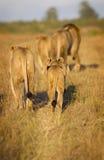 De trots van de leeuw royalty-vrije stock foto