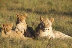 De trots van de leeuw Stock Afbeeldingen