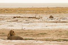 De trots van de leeuw Royalty-vrije Stock Afbeeldingen