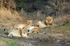 De trots van de leeuw Stock Fotografie