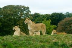 De trots van de leeuw het rusten Stock Foto