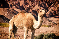 De Trotse kameel Royalty-vrije Stock Afbeeldingen