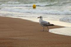 De trotse zeemeeuw komt uit de Noordzee in Oostende royalty-vrije stock afbeeldingen