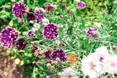 De tuin bloeit de dag van de korenbloemen purpere zonnige zomer dichte omhooggaand als achtergrond royalty-vrije stock foto's