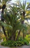 De tuin Elche Spanje van de palm Royalty-vrije Stock Afbeeldingen