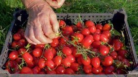 In de tuin op de gazonvrouwen sorteerden de handen kersentomaten in een doos stock footage