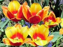De tuin oranje tulpen 2013 van Toronto Stock Foto