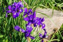 De tuin van aardbloemen Stock Afbeelding