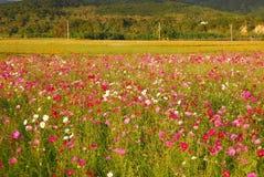 De tuin van Coreopsis in platteland. royalty-vrije stock fotografie