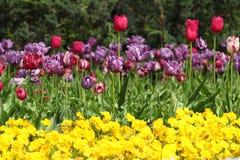 De tuin van de bloem met tulp stock foto