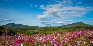 De Tuin van de bloemkosmos stock afbeelding