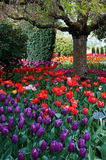 De tuin van de bloemtulp, tulpenfestival Stock Foto's