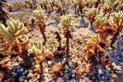 De Tuin van de Chollacactus in Joshua Tree National Park, Californië Royalty-vrije Stock Afbeeldingen