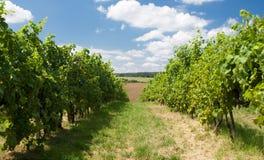 De tuin van de druif in Moravië Royalty-vrije Stock Afbeelding
