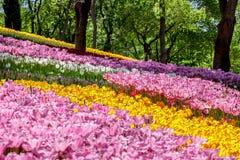 De tuin van de Emirgantulp Stock Foto