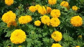 de tuin van de goudsbloembloem Stock Afbeelding