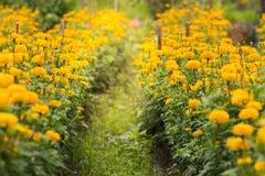 de tuin van de goudsbloembloem Royalty-vrije Stock Foto's