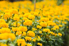 de tuin van de goudsbloembloem Royalty-vrije Stock Afbeelding