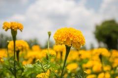 de tuin van de goudsbloembloem stock fotografie