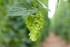 De tuin van de hop Royalty-vrije Stock Afbeelding