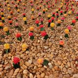 De tuin van de kleurencactus Royalty-vrije Stock Fotografie