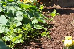 De Tuin van de komkommer Stock Foto's
