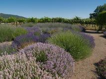 De Tuin van de lavendel met Wijngaard Stock Fotografie