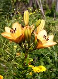 De tuin van de lelie Royalty-vrije Stock Afbeeldingen