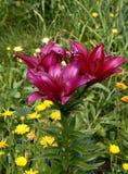 De tuin van de lelie Royalty-vrije Stock Fotografie